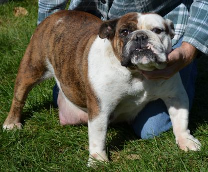 GERTRUDE OF JOPLIN - A Female Brindle Red Bulldog - Stimson Bulldogs